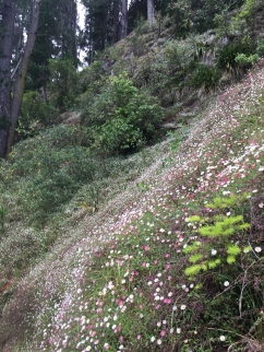 Wild daisies at Te Mata