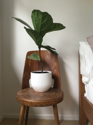Ficus lyrata taking a pew